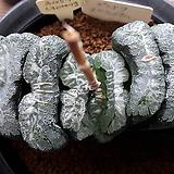 하워르티아 일반종 옥선 씨앗(옥선 푸세도우 스쿠리에이쿰 씨앗) 5립 (HS03)|Haworthia truncata