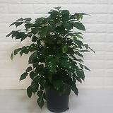 신종녹보수 (중품) / 공기정화식물|happy tree