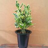 [진아플라워] 연둣빛 고급진 타마라크 크로톤 중형 380|Codiaeum Variegatum Blume Var Hookerianum