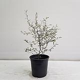 마오리코로키아/공기정화식물/인테리어/반려식물
