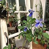 나비수국(목대와 꽃이  아름다워요)+고재항아리 완성품 Hydrangea macrophylla