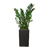 금전수 개업화분|Zamioculcas zamiifolia