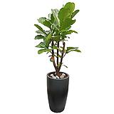 떡갈고무나무 Ficus elastica|Ficus elastica