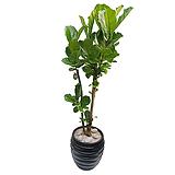 떡갈고무나무 Ficus elastica 개업식물|Ficus elastica