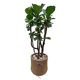 떡갈고무나무 고급폴리분|Dracaena