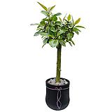 뱅갈고무나무 거실화분|Ficus elastica