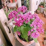 팬타스(별같은 꽃들이 몽글몽글)약30cm화분별도 