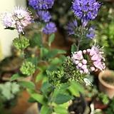 층층꽃(독특한 두가지색의 아름다운 꽃)+수제도자기분 완성품 