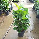 떡갈나무 / 약 60-70cm / 공기정화식물 / 새집증후군제거 / 키우기 쉬운 공기정화식물 / 인테리어화분 / 플랜테리어 / 배란다정원 / 미세먼지제거