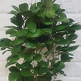 호야 루카르덴시아나 공기정화식물|Hoya carnosa