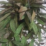 호야 하와이 공기정화식물|Hoya carnosa