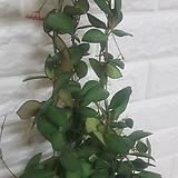 호야 마니당 공기정화식물|Hoya carnosa