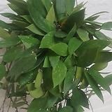 호야 메모리아 공기정화식물|Echeveria Memory