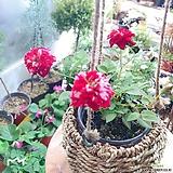 호피찔레(꽃의 색상이 아름답습니다)+왕골바구니세트 완성품 