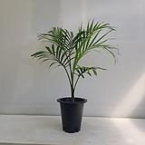 겐차야자/공기정화식물/인테리어/반려식물
