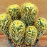 [진아플라워] 황금빛 금황환 군생화분 250|