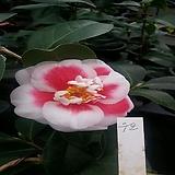 [진아플라워] 꽃이 복스러운 우포 동백나무 420|