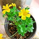 노랑사랑초(화사한 꽃들이 아름답습니다.) 