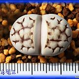 리톱스 Lithops C205 julii ex SH|Lithops