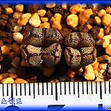 Conophytum pellucidum terricolor SH1252|