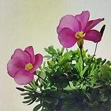 핑크플라바(바람개비사랑초)|