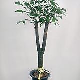 해피트리(대품)-수형 예뻐요|happy tree
