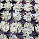 도태랑(중) Echeveria cv Momotarou