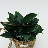 귀요미 애플콩고 미니콩고 콩고 잎넓은식물 실내식물 공기정화식물|