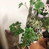 희귀폴리셔스(묵은둥이 튼튼한 외목수형)완성분 60cm~65cm 