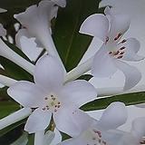 흰비래아만병초|