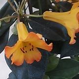 노랑비레아만병초(재입고)|