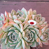 수련군생|Echeveria Suryeon
