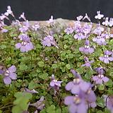 애기누운주름잎(덩굴해란초) 