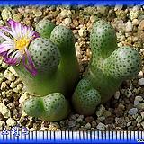 Conophytum MARGINATUM HARAMOPENSE EvJ6641 (대형종)|
