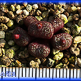 Conophytum minusculum ARM388A|