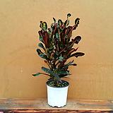 [진아플라워] 분위기 메이커 밤비크로톤 110|Codiaeum Variegatum Blume Var Hookerianum