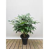 녹보수 신종 (포트)|happy tree
