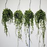 완전 최상품 그린디시디아 디시디아 틸란 공기정화식물 미세먼지 공중식물 틸란드시아 행잉화분|Tillandsia