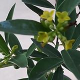 깜비(산달나무)|