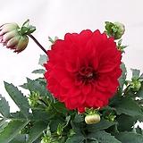 큰꽃다알리아