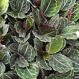 칼라데아로제오픽타 실내식물 칼라데아 관엽식물 음지식물|