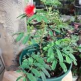 홍자귀(붉은색 꽃이 아름다워요)+슬릿화분 세트(월동) 