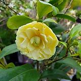 [진아플라워] 노란꽃 황동백 나무 350|