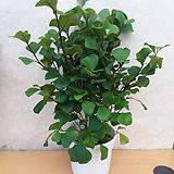 스위트하트 고무나무|Ficus elastica