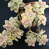 살구미인금|Graptoveria Titubans