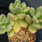 청성미인금|Pachyphytum Doctor Cornelius