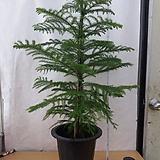 아레오카리아/아라우카리아/공기정화에 좋은식물/높이100센치정도|