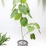 대전.세종(일부지역) 직배송상품 휘카스움베르타 휘카스 공기정화식물 대품 휘커스|