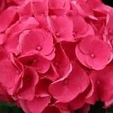수국 다이너마이트 소품|Hydrangea macrophylla