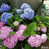 메구미 수국/별수국/산수국/노지월동|Hydrangea macrophylla